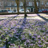Mass display of Crocuses in the Soaperie gardens, Kirkcudbright