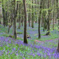 Bluebells in the Barhill Woods, Kirkcudbright